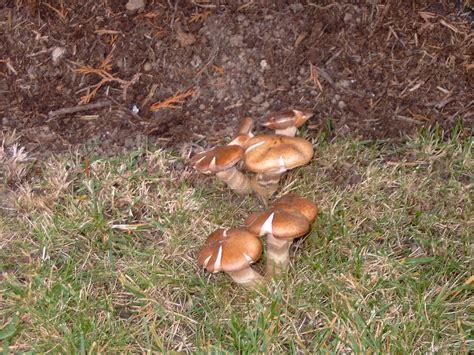 Bei Uns Wachsen Pilze Im Garten by Pilze Im Garten Und Rasen Haus Garten Forum Chefkoch De