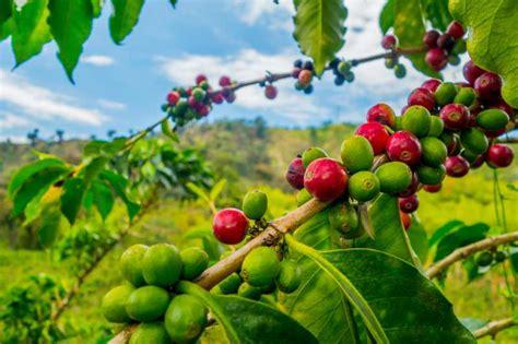 perbedaan kopi robusta  arabika merah putih coffee