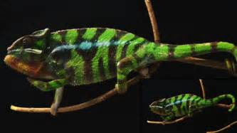 chameleon changing color chameleons change color by tuning tiny crystals in their