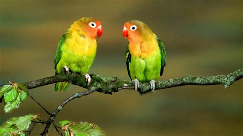 full hd wallpaper lovebird branch cute couple variegated