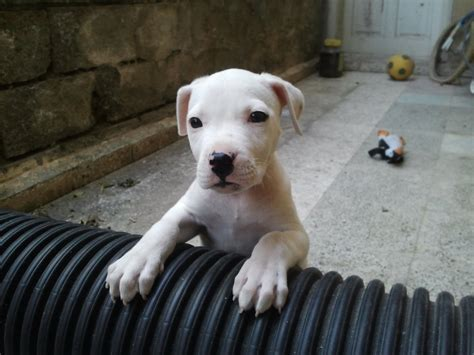 free dogo argentino puppies dogo argentino puppy 1 month 1 aylık dogo argentino