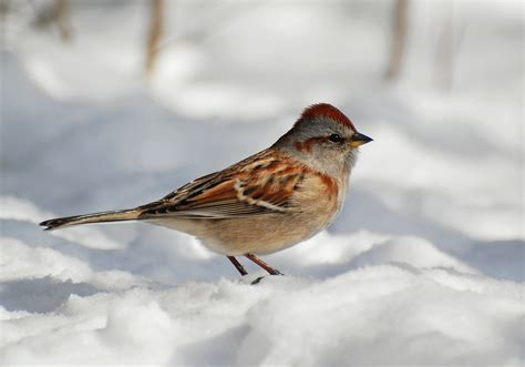 suzanne britton nature photography american tree sparrow