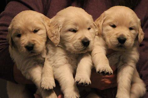 golden retriever 4 weeks 8megpuppies beautiful golden retriever puppies
