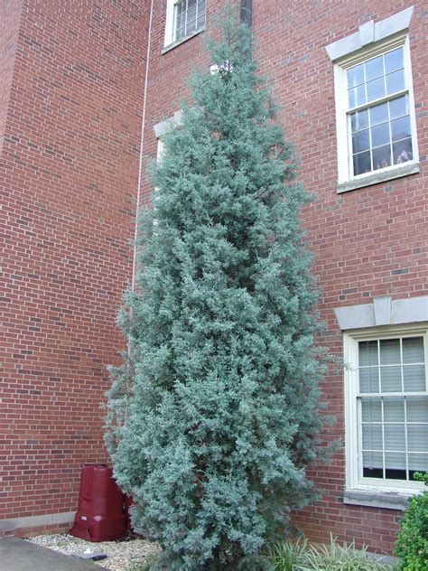 decorated blue arizona cypress for try arizona cypress what grows there hugh conlon horticulturalist professor