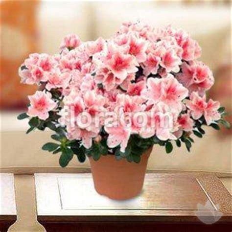 azalea in vaso azalea in vaso piante consegna fiori in italia