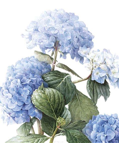 botanicalartists com elaine searle botanical art