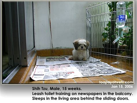 toilet a shih tzu puppy how to toilet a puppy shih tzu photo