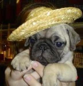 minnesota pug breeders dogs oakdale mn free classified ads