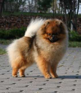 oldest living pomeranian my partner fredrik nilsson owns the callevys kennel of pomeranians it is one of