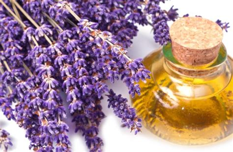 lavender oil for bed bugs why you should have lavender oil in your home the open mind