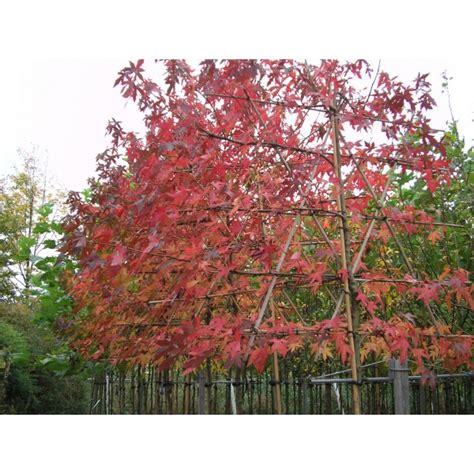 amberboom kopen leiamberboom kopen liquidambar styraciflua