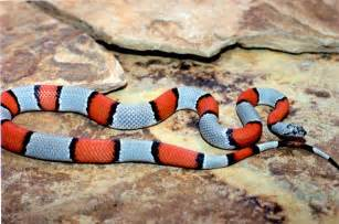 project based science gray banded kingsnake