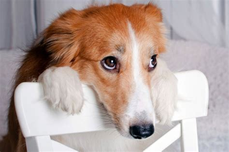 guilty puppy 22 guilty photos of canines looking sorry lifedaily