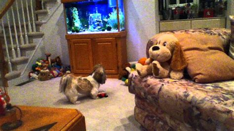 why do dogs dig on the couch shih tzu dog lacey digging in our couch and playing with
