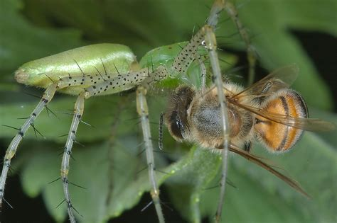 Garden Spider Washington State Spiders Search In Pictures