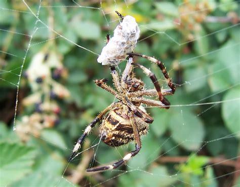Garden Spider Vs Orb Weaver by Image Gallery Spider Prey