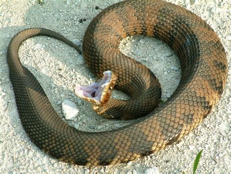 images of a water moccasin cottonmouth water moccasin www pixshark images