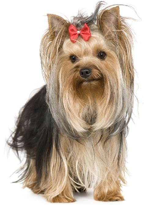 best yorkie names yorkie names image search results
