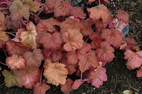 southern comfort coral bells southern comfort coral bells heuchera southern comfort