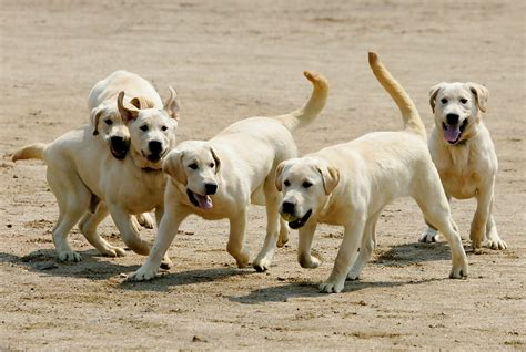 how sniffer dogs are trained toppy in cloned sniffer dogs begin in korea zimbio