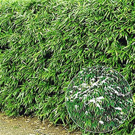 schnellwachsende hecke als sichtschutz 44 heckenpflanzen jetzt kaufen bestellen bei baldur