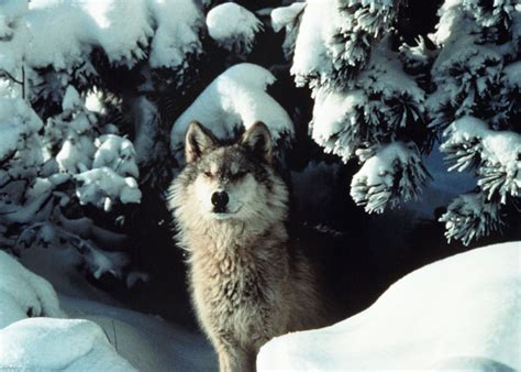 official website bringing wolves home