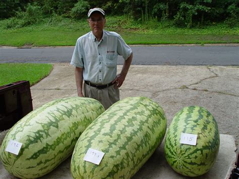 history of the watermelon photo history of giant watermelons giant watermelons