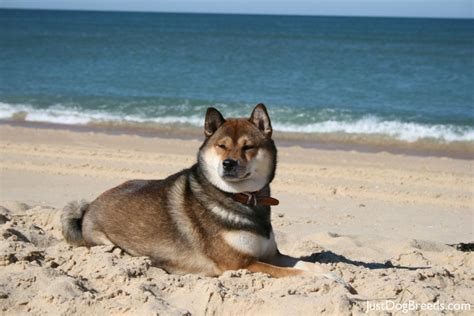small calm dogs small calm non shedding breeds for breeds picture