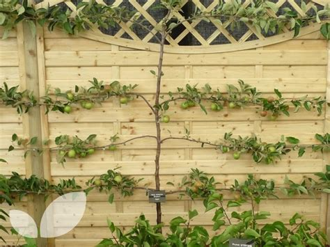 3 tier espalier fruit trees for sale