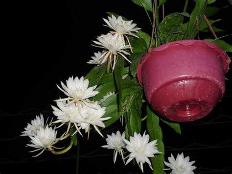 tanaman bunga berbau harum bibit