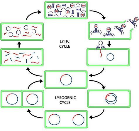 lytic cycle diagram lytic cycle