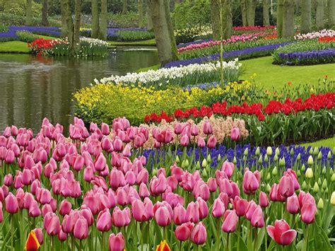 tulip flower garden beautiful tulip flower hd wallpapers hdesktops