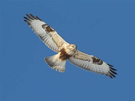 rough legged hawk ecobirder rough legged hawk