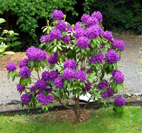 rhododendron in gardening tips for planting care