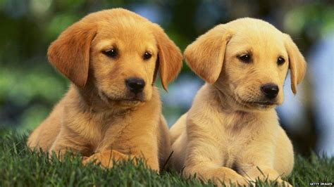 room of puppies puppy room offered to relax stressed students newsbeat