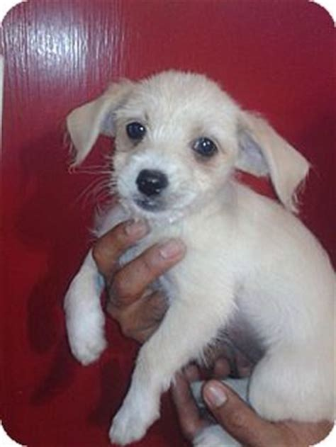 lifespan of chihuahua poodle mix dulce adopted puppy seattle wa poodle miniature