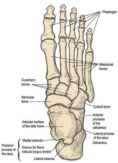 foot diagram diagram bone structure foot bones in a foot diagram bones