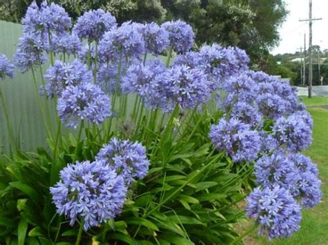 Agapanthus praecox agapanthus lily of the nile aunt aggie s pants