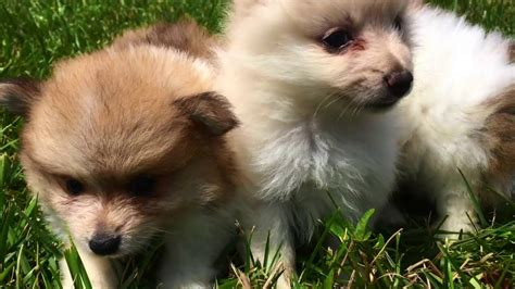 free puppies greensboro nc teacup pomeranian puppies for sale in greensboro nc funnydog tv
