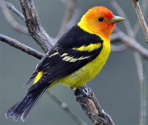 western tanager birds pinterest
