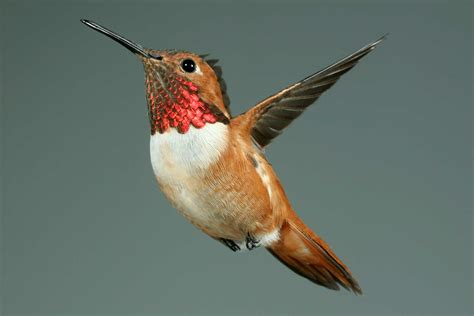 highest resolution hummingbird photos on internet birdforum
