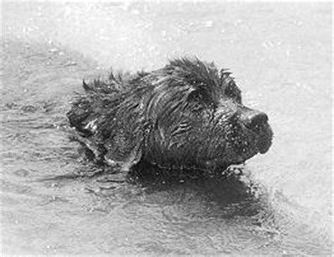 murdochs heroic dog rigel william murdoch