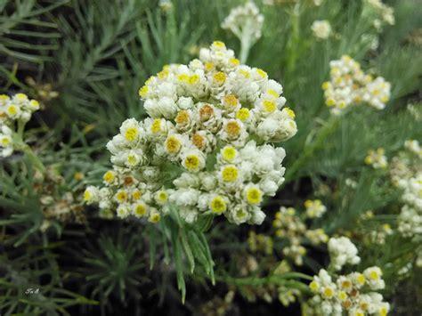 jenis bunga edelweis  tak   tahu