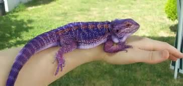 purple bearded dragon google cute animals bearded dragon