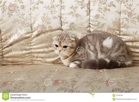 cat on a couch cat on a gold couch royalty free stock images image