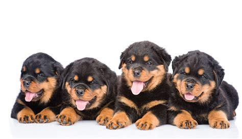 rottweiler puppies for sale bakersfield ca rottweiler puppies for sale ol country rotties