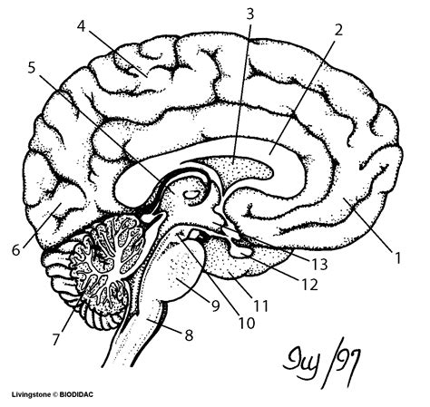 Brain Outline Lobes by Outline Neurology