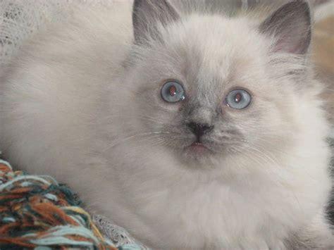 ragdoll kittens for adoption ragdoll kittens for sale adoption from kettle falls