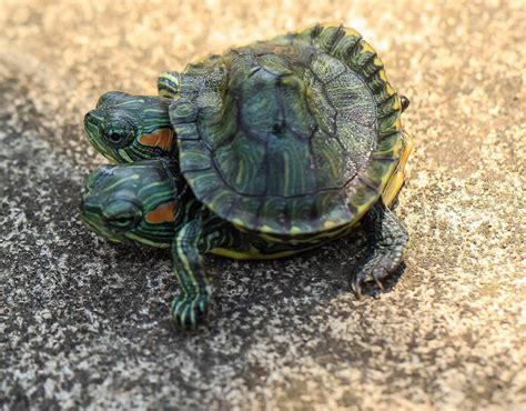 Indonesia Born two headed turtle born in jakarta indonesia world s
