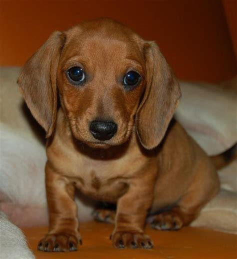best time to get a puppy 25 best ideas about sausage dogs on sausage puppy dachshund puppies